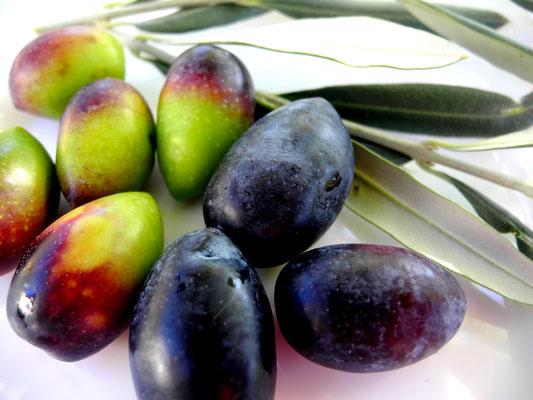 Frisch geerntete Kalamon Oliven in unterschiedlichen Reifegraden