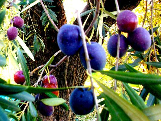 Amfissa Oliven am Baum in unterschiedlichen Reifezuständen