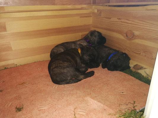 Mittagschlaf in der umgedrehten Wurfkiste - aber nicht immer alle!