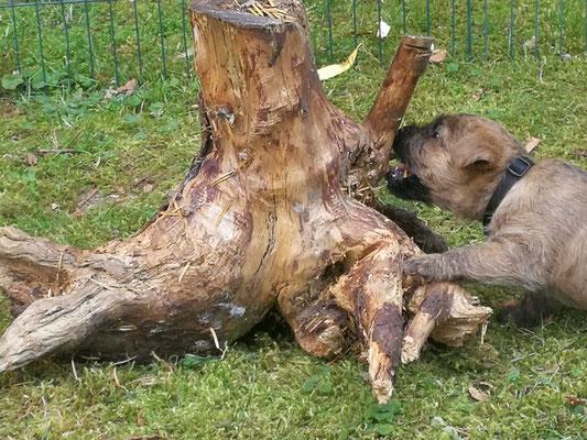 Aenne erkundet die alte Baumwurzel.