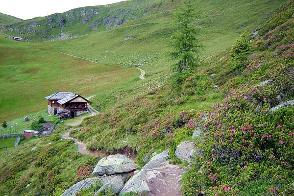 Alpenrosen in den schönsten Rotfarben
