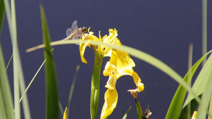E Libelle am Sünnele