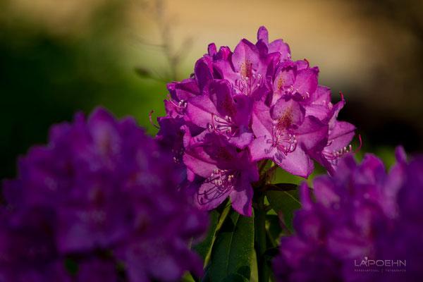 Rhododendron im warmen Morgenlicht