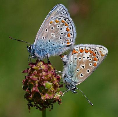 Polyommatus icarus / Hauhechel Bläuling