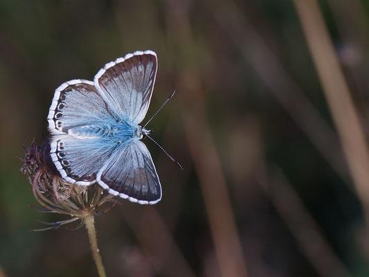Polyommatus coridon / Silbergrüner Bläuling