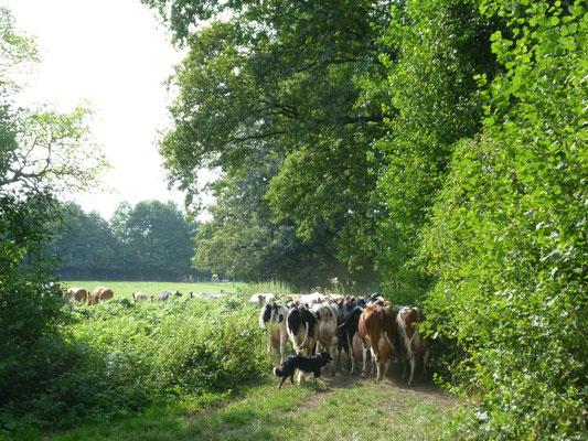Melkzeit. Die Kühe werden in den Stall geholt.