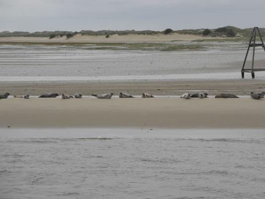 Seehunde auf Norderney