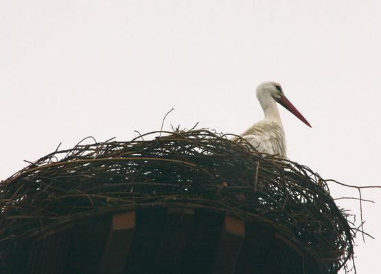 bereit nach weinigen Tagen erschien der erste Storch