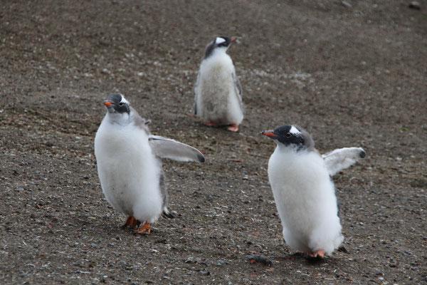 Pinguin Baby´s am laufen