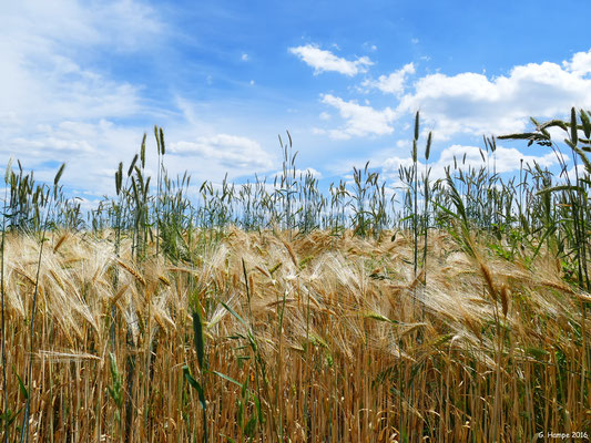 Im Weizenfeld 3