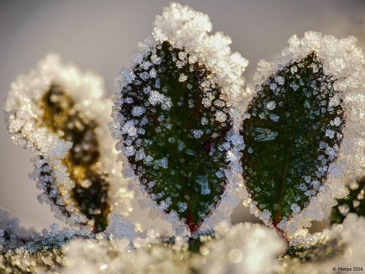 Winterblume 4