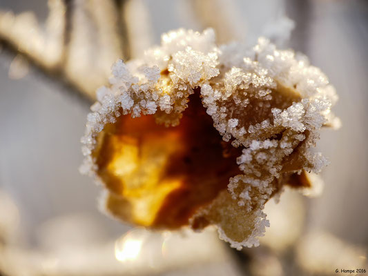 Winterblume 5