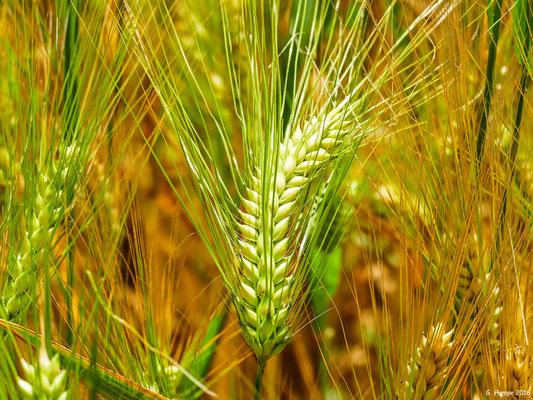 Im Weizenfeld 1