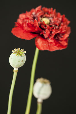 papaver_somniferum_005