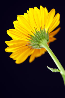 calendula_officinalis_004