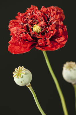 papaver_somniferum_004