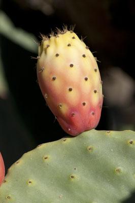 opuntia_ficus-indica_003