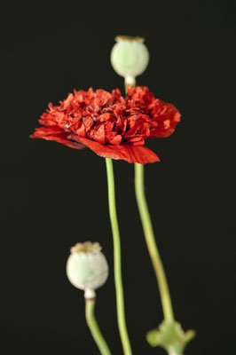 papaver_somniferum_002