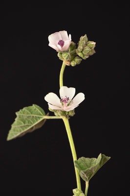 althaea_officinalis_003
