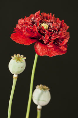 papaver_somniferum_006