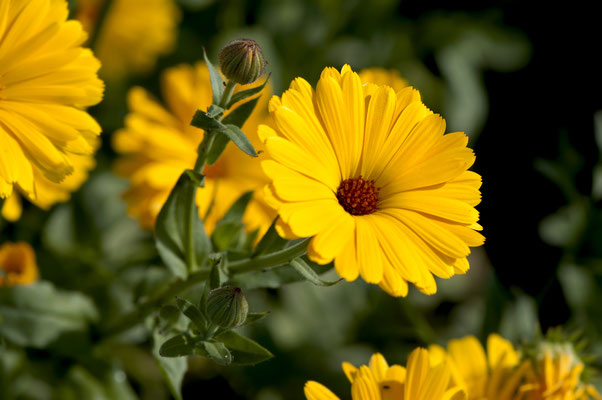 calendula_officinalis_008