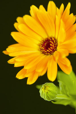 calendula_officinalis_006