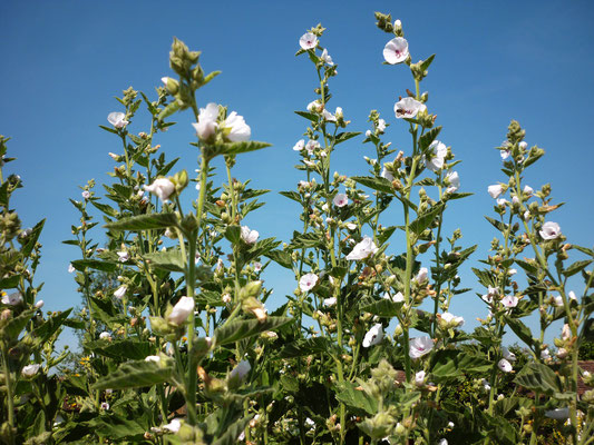 althaea_officinalis_010
