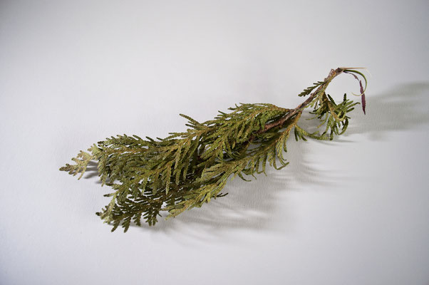 thuja_occidentalis_004