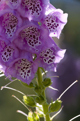 digitalis_purpurea_001