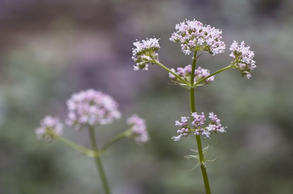 valeriana_officinalis_003