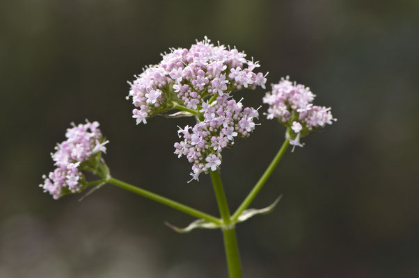 valeriana_officinalis_004