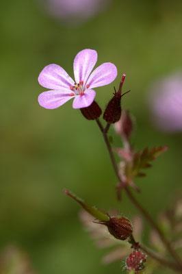 geranium_robertianum_003
