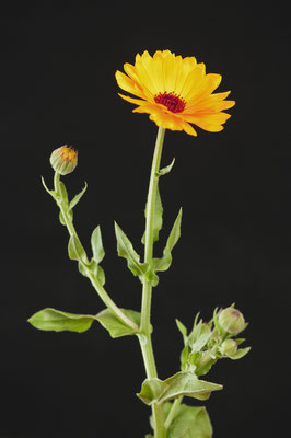 calendula_officinalis_007