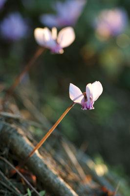 cyclamen_hederifolium_004