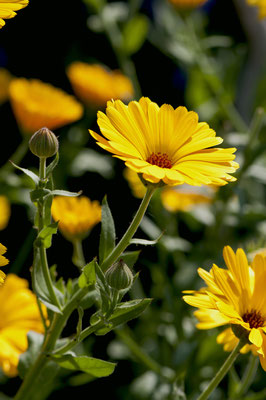 calendula_officinalis_009