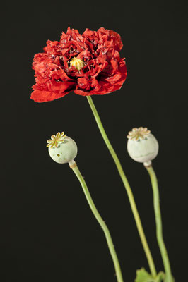 papaver_somniferum_003