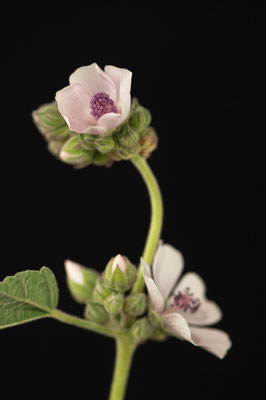 althaea_officinalis_005