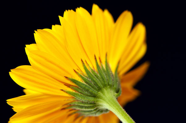 calendula_officinalis_005