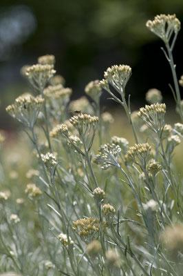 helichrysum_italicum_002