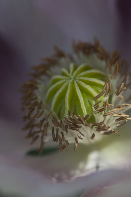 papaver_somniferum_013