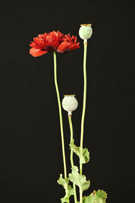 papaver_somniferum_001