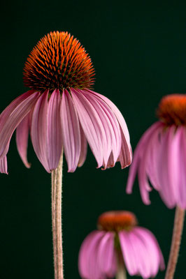 echinacea_purpurea_001