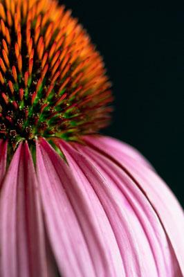 echinacea_purpurea_002