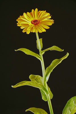 calendula_officinalis_003
