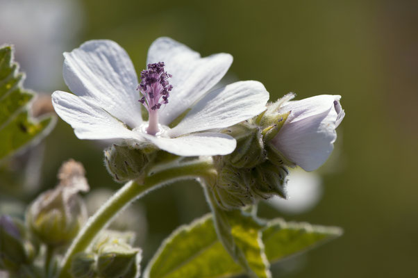 althaea_officinalis_012