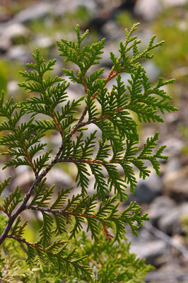 thuja_occidentalis_003