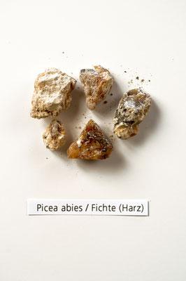 picea_abies_002