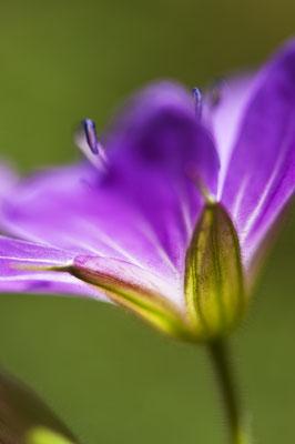 geranium_pratense_003