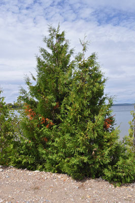 thuja_occidentalis_001