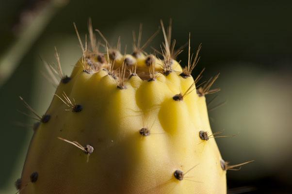 opuntia_ficus-indica_004